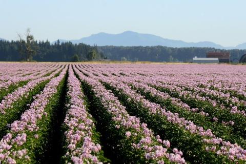 Rows of purple potato blossoms