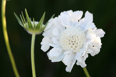 Scabiosa 'Fama White' contrasts nicely with the 'Dark Knight'