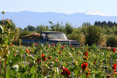 Truck in the flower fields, Jello Mold Farm