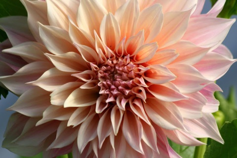 The blushing pink of Dahlia 'Cafe au Lait'
