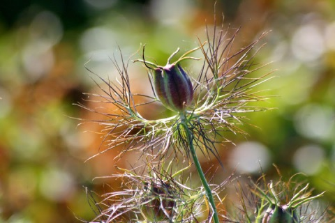 Seed pods, love-in-a-mist