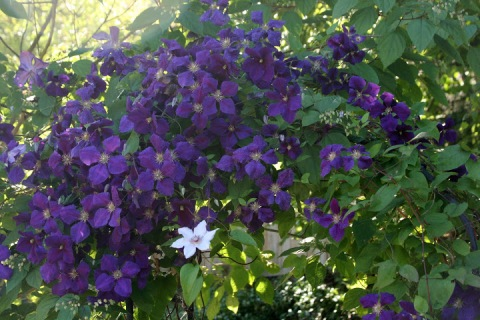 One white clematis blossom among its purple neighbors