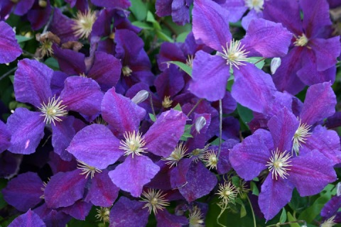 Purple clematis blossoms