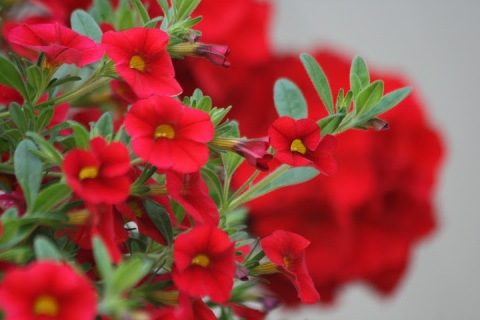 Red flowers in a hanging basket in the shade of a porch