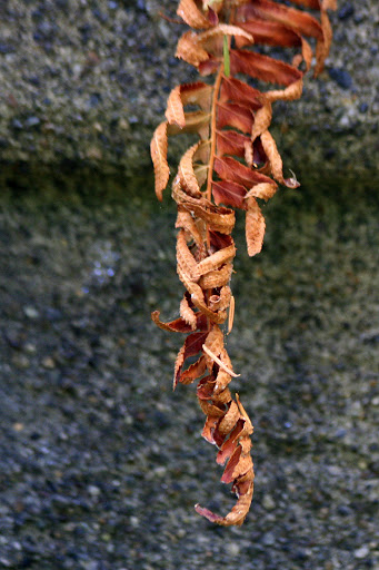 Dried fern
