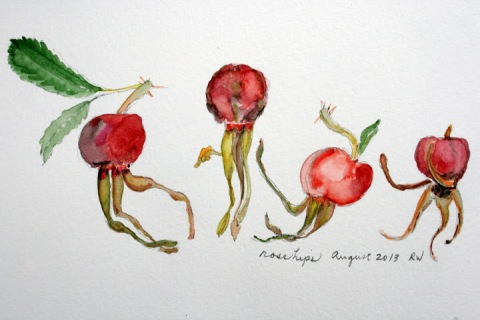 Watercolor sketch of rose hips
