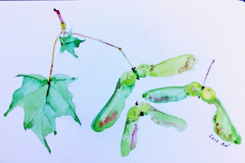 Watercolor sketch of maple leaves and seeds