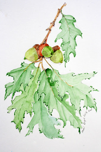Watercolor sketch of oak leaves and acorns