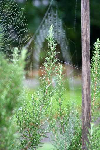 Spiderwebs on rosemary bush