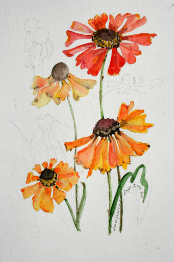 Watercolor sketch of sneezeweed