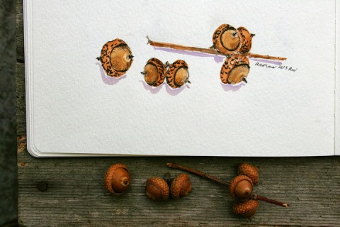 Watercolor sketch of another variety of acorn