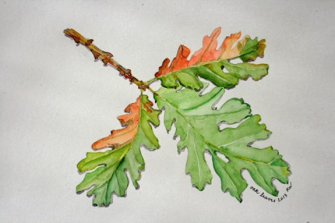 Watercolor sketch of oak leaves