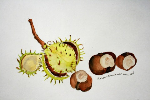 Watercolor sketch of horse chestnuts