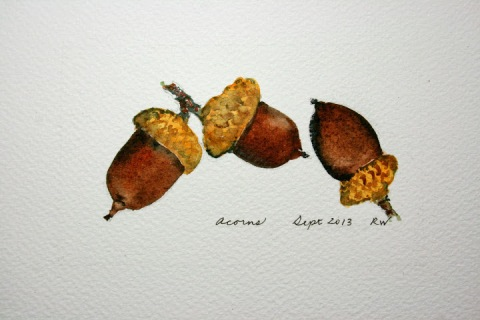 Watercolor sketch of three acorns