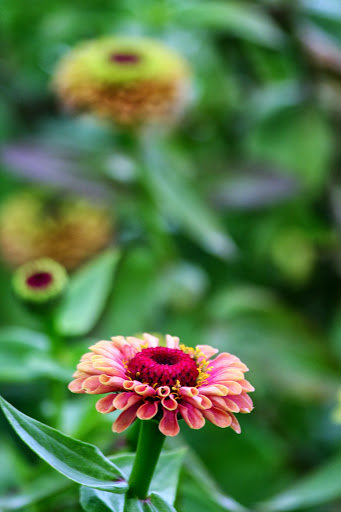 Queen lime zinnias