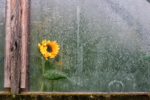 Sunflower behind plastic