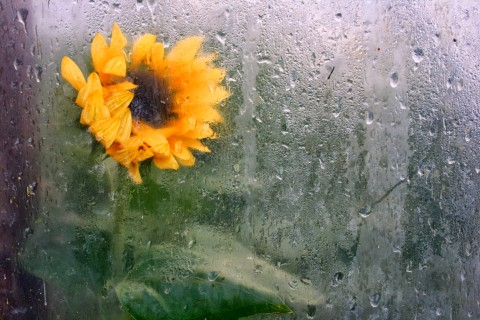 Sunflower through plastic greenhouse