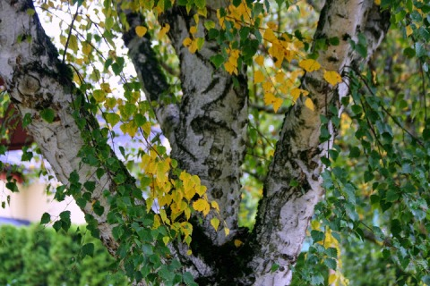 White birch with dappled leaves