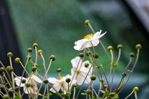Anemones in a neighbor's garden