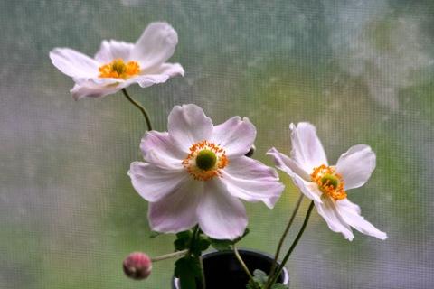 A few cut anemones in a vase