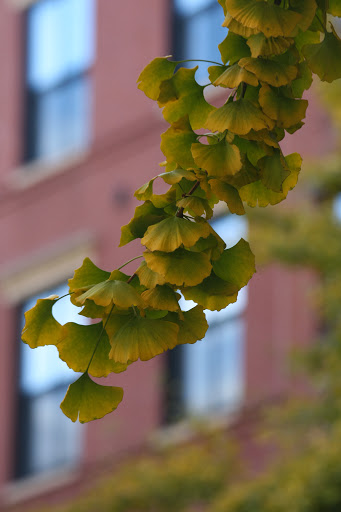 Cascading fullness of ginkgo leaves
