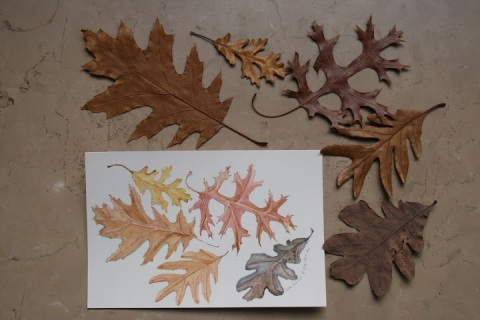 Watercolor sketch of oak leaves of NYC