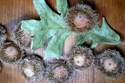 Bur oak leaf and capped acorns