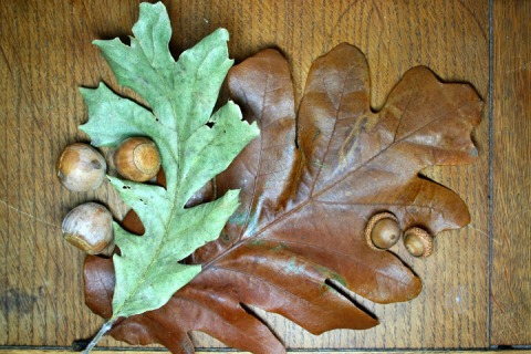 Comparing a bur oak leaf and acorns (green leaf and acorns on left) to leaf and acorns from Seattle (brown leaf and acorns on right)