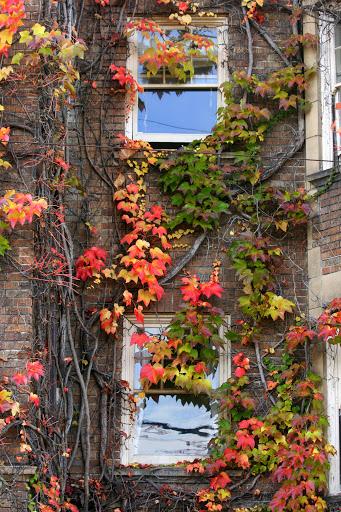 Vine-covered windows