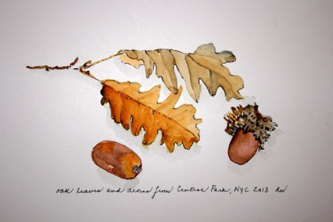 Watercolor sketch of oak leaves and acorns from the trees lining the reservoir at Central Park
