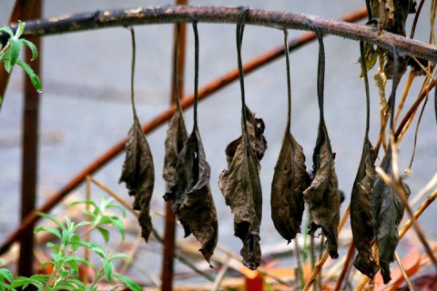 Winter in the garden: decaying leaves hanging like a row of furry bats