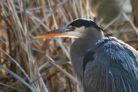 One of three great blue herons (notice the frosty back feathers)