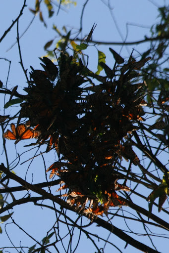 Cluster of monarchs in the eucalyptus grove at Natural Bridges State Park