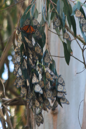 A cluster of over-wintering monarch butterflies, Pacific Grove, California