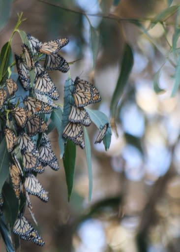 Pacific Grove monarchs