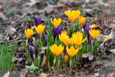 Colorful crocuses