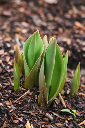 Spikes of tulips
