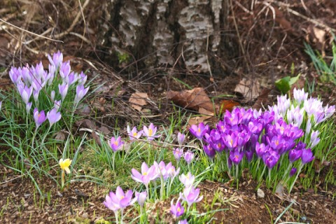 Patches of purple and white crocuses