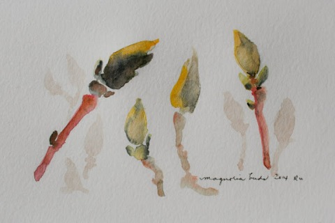 Watercolor sketches of magnolia buds