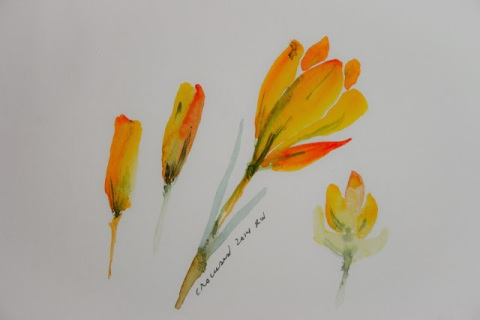 Another watercolor sketch of crocuses