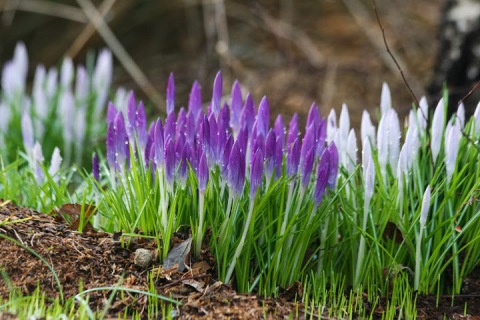 The wonderment of Spring crocuses