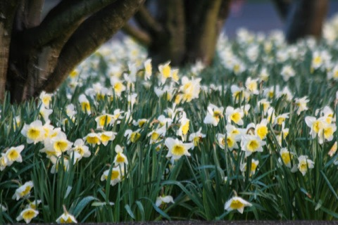 Daffodils at Green Lake