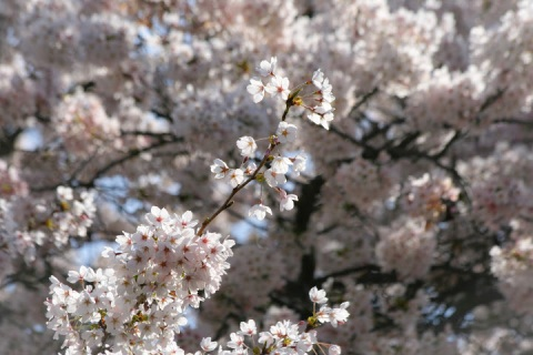 Blossoms shimmer in the sunlight