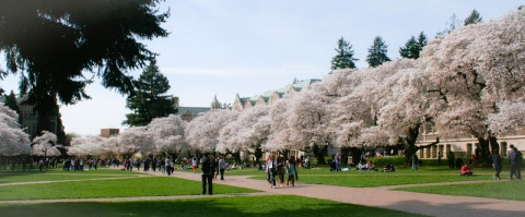 Yoshino cherry trees in bloom on the University of Washington campus