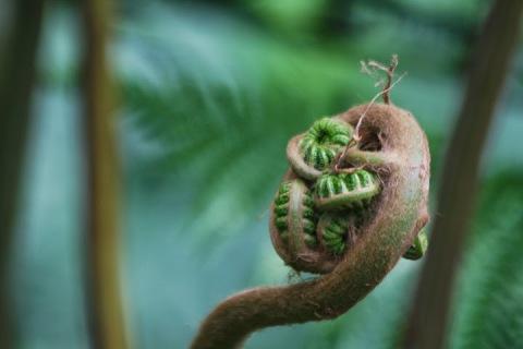 Unfurling fern, Como Park Conservatory