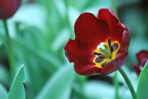 Tulip like a flame