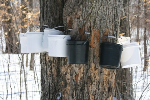 Buckets for collecting maple sap