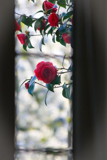 Camellias through my window