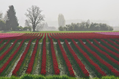 Tulip field, Skagit Valley