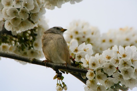 Bird in blossoms